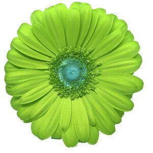Green Gerbera